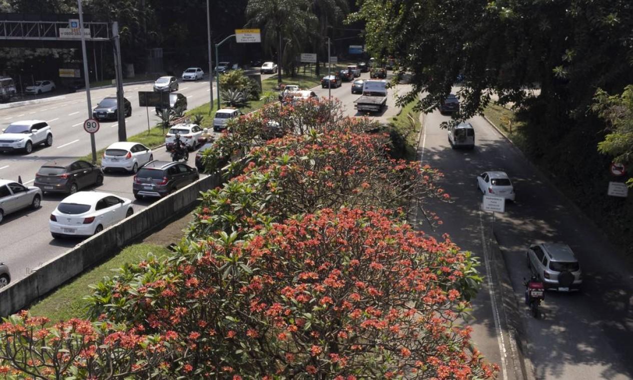 Árvores na entrada do Túnel Rebouças, na Lagoa, já começam a exibir as cores da estação Foto: Márcia Foletto / Agência O Globo
