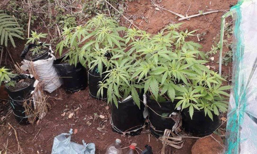 Plantação de maconha em casa prevê penas mais brandas