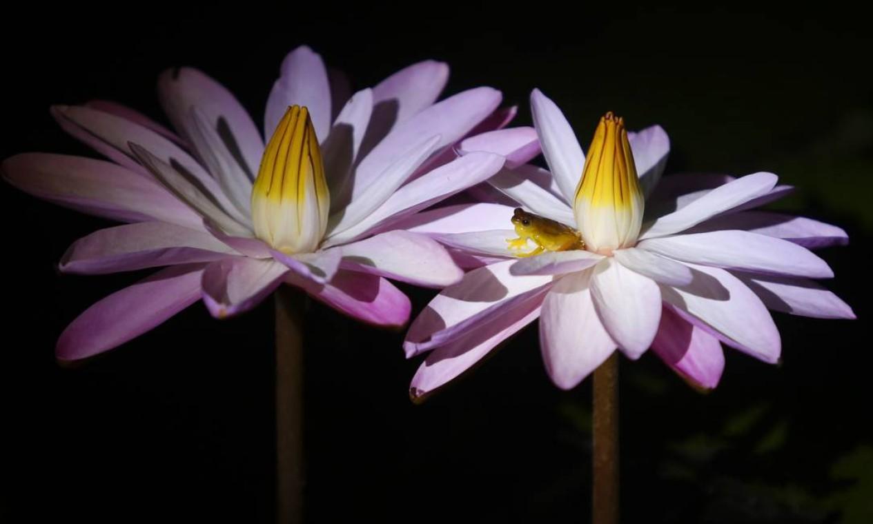 Fauna e flora. Perereca-de-colete vocalizando em flor de ninfeia (à direita) Foto: Fabio Rossi / Agência O Globo