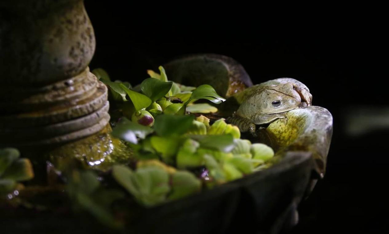 É possível observar hábitos de diferentes espécies mais ativas durante a noite, como a rã martelo camuflada na pedra Foto: Fabio Rossi / Agência O Globo