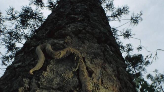 Uma jararaca desce o tronco de uma árvore - Foto: Latinstock