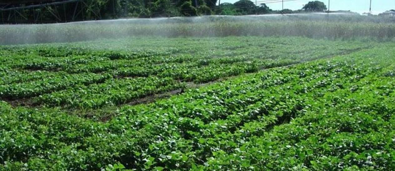 Campo de feijão transgênico promete aumentar a produtividade. Foto de divulgaçãoFrancisco Aragão