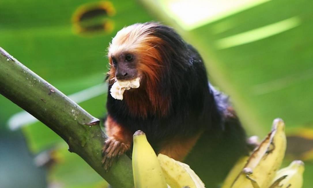 Um dos micos-leões-de-cara-dourada do grupo invasor de Niterói -