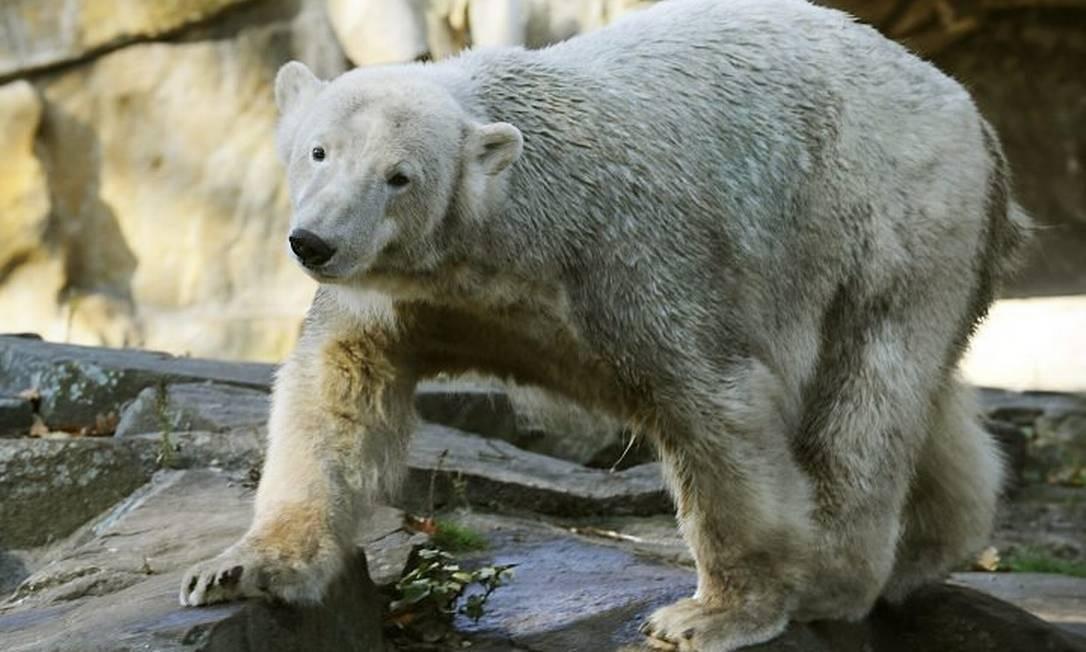 Urso Knut anda em sua cela no zoológico de Berlim em junho de 2010 AFP