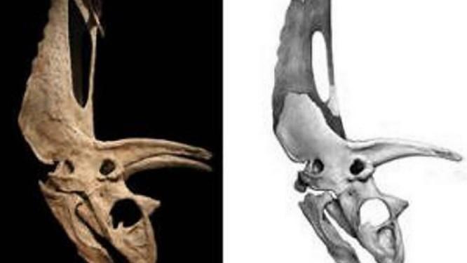 À esquerda a imagem do crânio do Titanoceratops com as partes que foram reconstruídas para que parecesse o Pentaceratops. A ilustração à direita mostra as partes que faltavam do folho. Divulgação Yale University