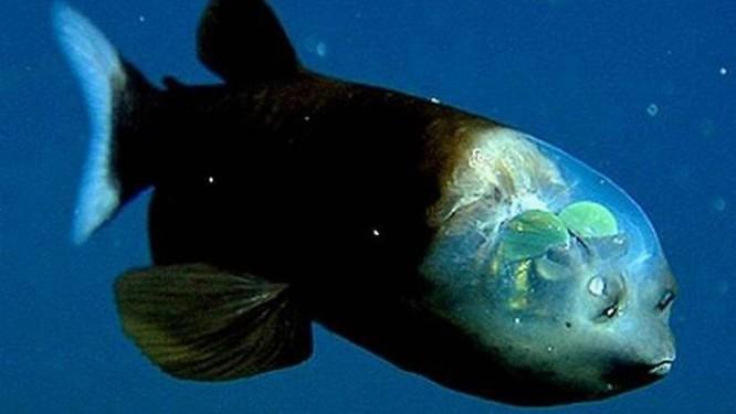 O peixe macropina. Foto: Divulgação