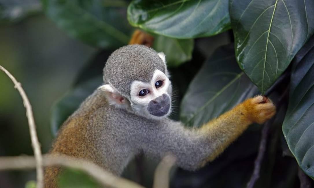 Os micos-de-cheiro são oriundos da Amazônia: eles se alimentam de ovos de pássaros ameaçados de extinção Foto: Custodio Coimbra