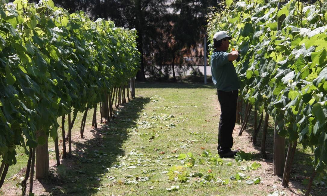 Funcionário das Bodegas Carrau corta folhas do vinhedo de tannat, na vinícola localizada quase dentro de Montevidéu. Foto: Bruno Agostini / O Globo