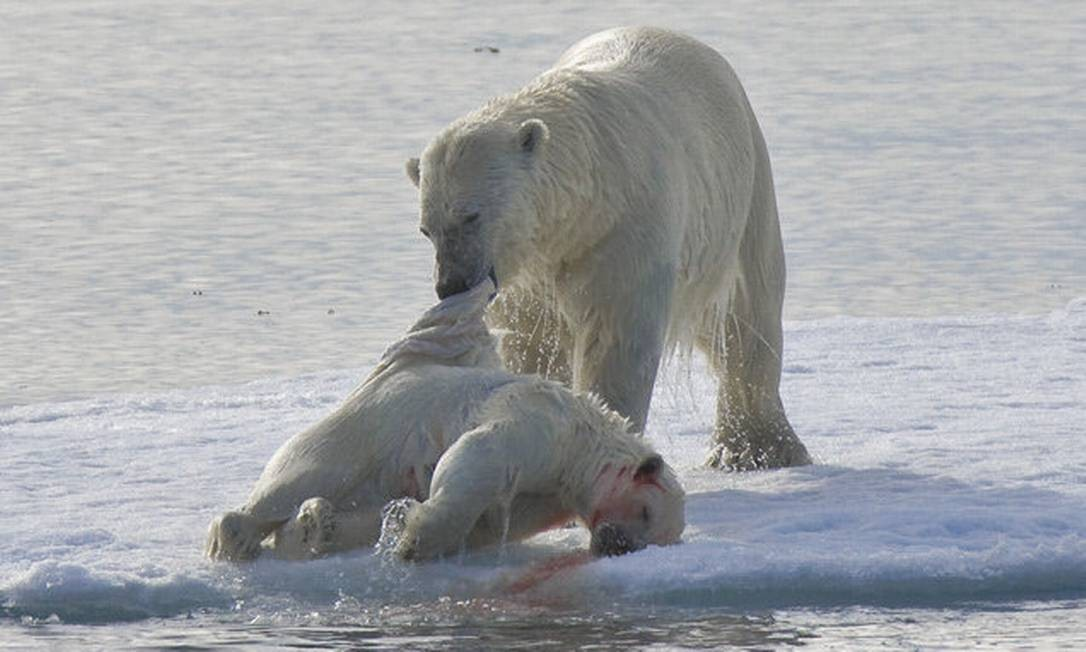 Urso polar macho carrega carcaça de filhote morto: canibalismo estaria aumentando em razão do aquecimento global Foto: Reprodução
