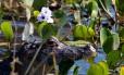 Perto do perigo: safári fotográfico leva pelas áreas alagadas do Pantanal, onde é possível observar jacarés e outros bichos