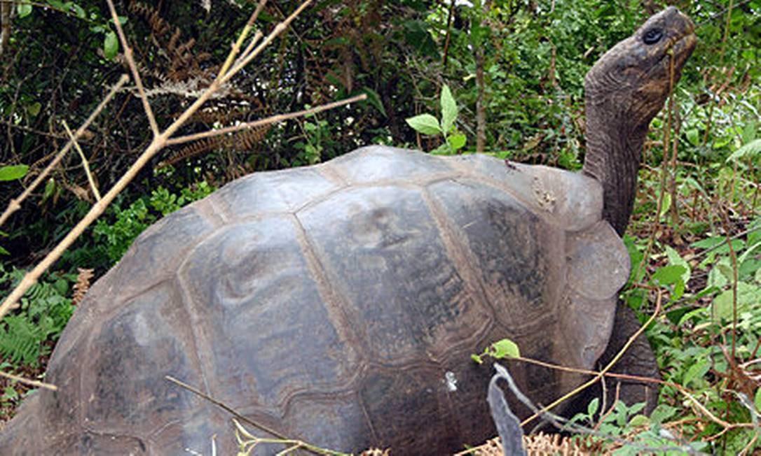 Uma das tartarugas encontradas na Ilha Isabela, a mais de 320 quilômetros de seu antigo lar na Ilha Floreana Foto: Reprodução / Universidade de Yale