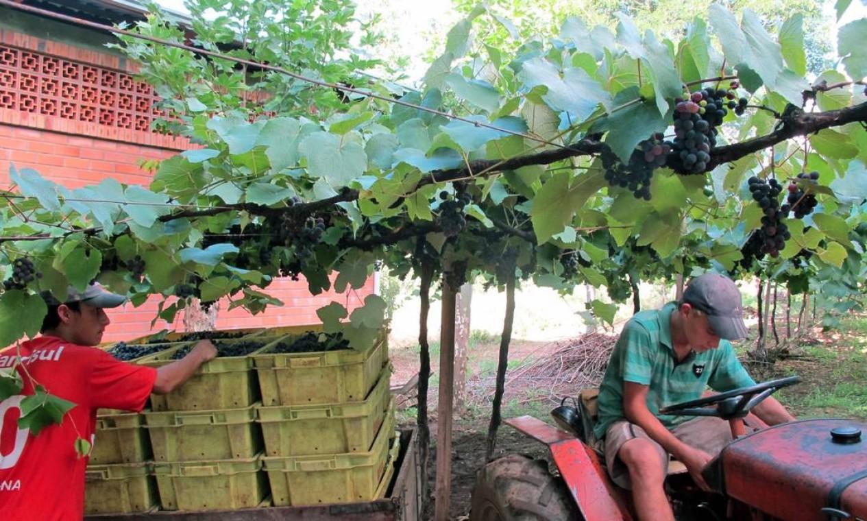 A vinícola Torcello tem, além de Rogério, mais três parentes durante o ano todo. Na vindima, ele contrata ajudantes Foto: Fernanda Dutra / O Globo