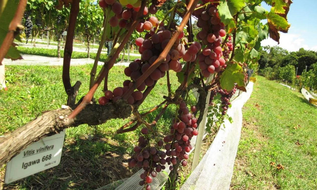 Igawa é outra das uvas cultivadas nos Vinhedos do Mundo, um projeto pedagógico e cultural da Dal Pizzol. No início do mês, houve uma colheita simbólica para a elaboração do segundo vinho do projeto. O primeiro, da colheita do ano passado, também foi provado: era um grande assemblage de 20 castas Foto: Fernanda Dutra / O Globo