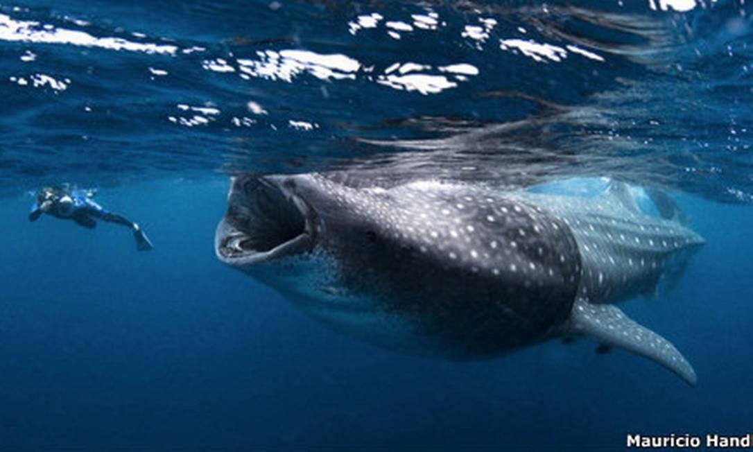 Cartilagem de tubarão pode ter toxina Foto: Divulgação