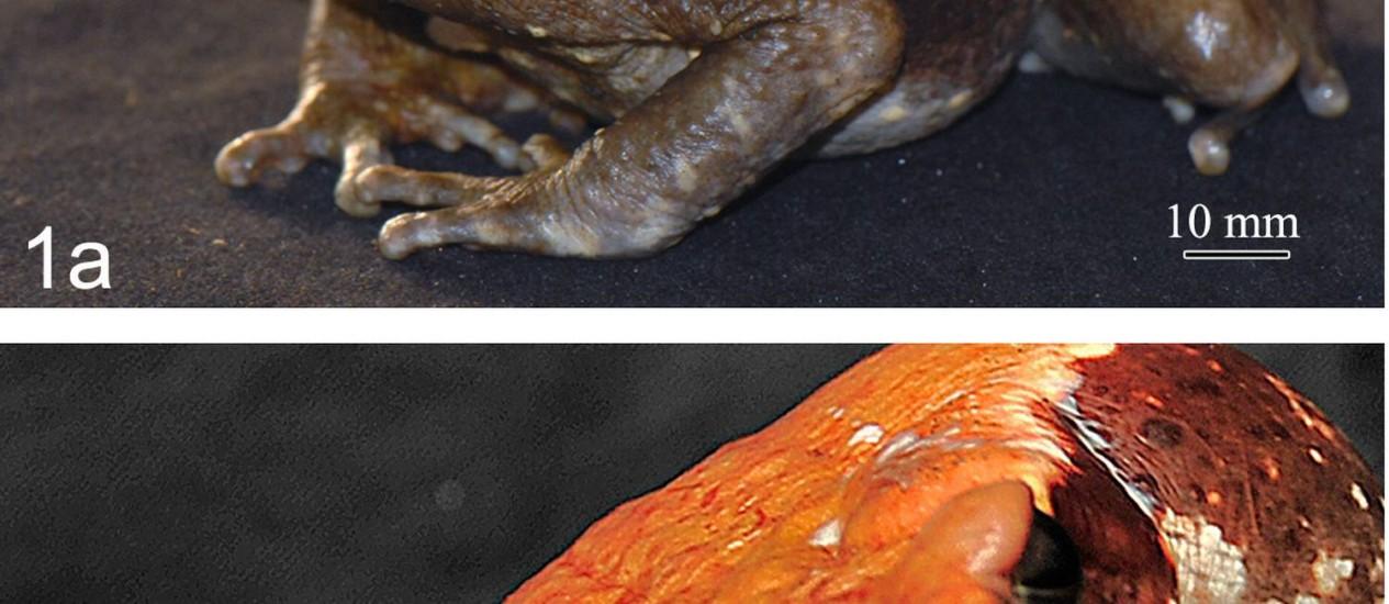 O sapo-cururu da Amazônia consegue esguichar seu veneno Foto: Divulgação/Instituto Butantan