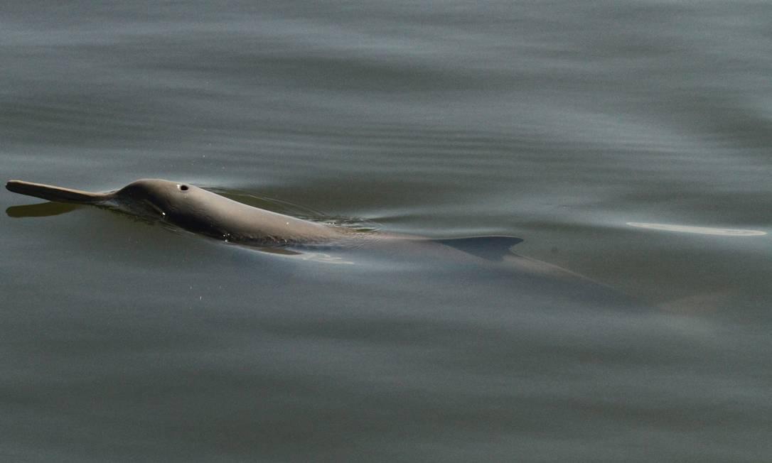 UMA IMAGEM RARA: uma toninha é avistada ao subir à superfície para respirar Foto: Foto Projeto Toninhas/UNIVILLE
