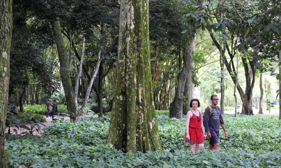 A 'Terminalia acuminata', em canteiro do Jardim Botânico Foto: Custodio Coimbra