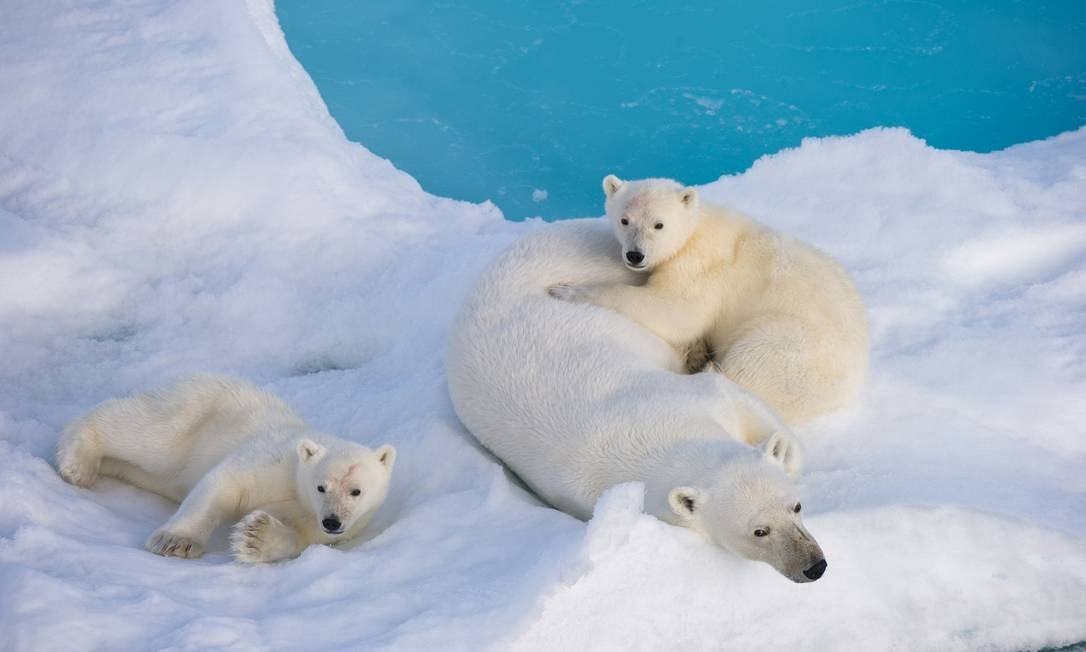 Família de ursos polares sobre uma geleira do Ártico: estudo mostra preocupação sobre capacidade de adaptação ao aquecimento climático Foto: Reuters