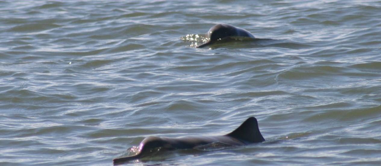 Espécie de golfinho praticamente desconhecida, a toninha corre risco de extinção Foto: Divulgação