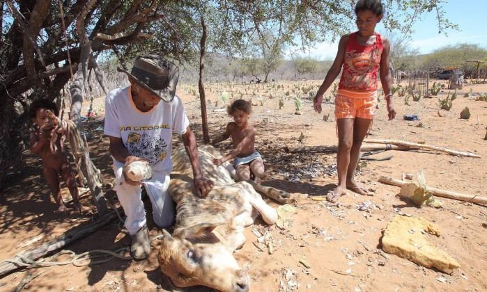 Sem pasto e já com as palmas (cactaceas) consumidas pelo gado, seu Manoel Afonso dos Santos já deu até macambira para o gado comer, mas os bichos estão morrendo de fome e sede O Globo / Hans von Manteuffel