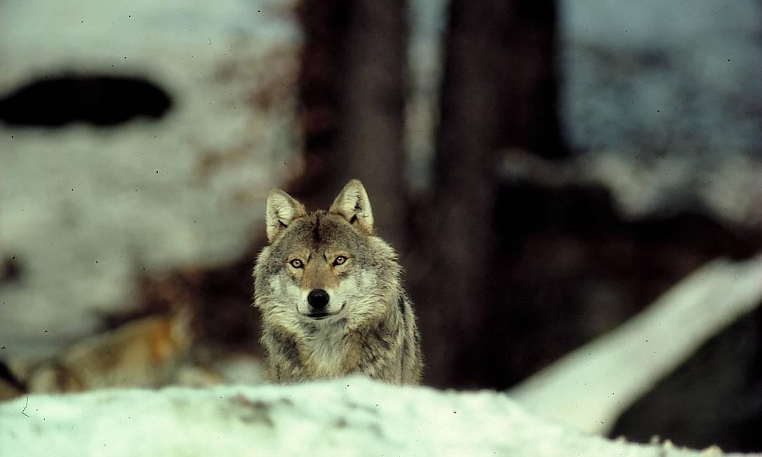 Canis lupus, nome científico do lobo: volta ao lar ancestral Foto: Divulgação/Nabu