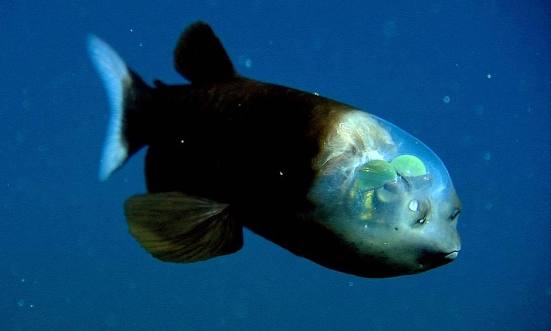 Transparência no abismo: mecanismo misteriosos na cabeça do peixe Macropinna microstoma Foto: Mbari