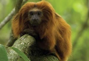 O mico-leão-dourado, a preguiça-de-coleira e a jacutinga são algumas das dez espécies da fauna fluminense que estão ameaçadas de extinção Foto: Secretaria estadual do Ambiente / Divulgação