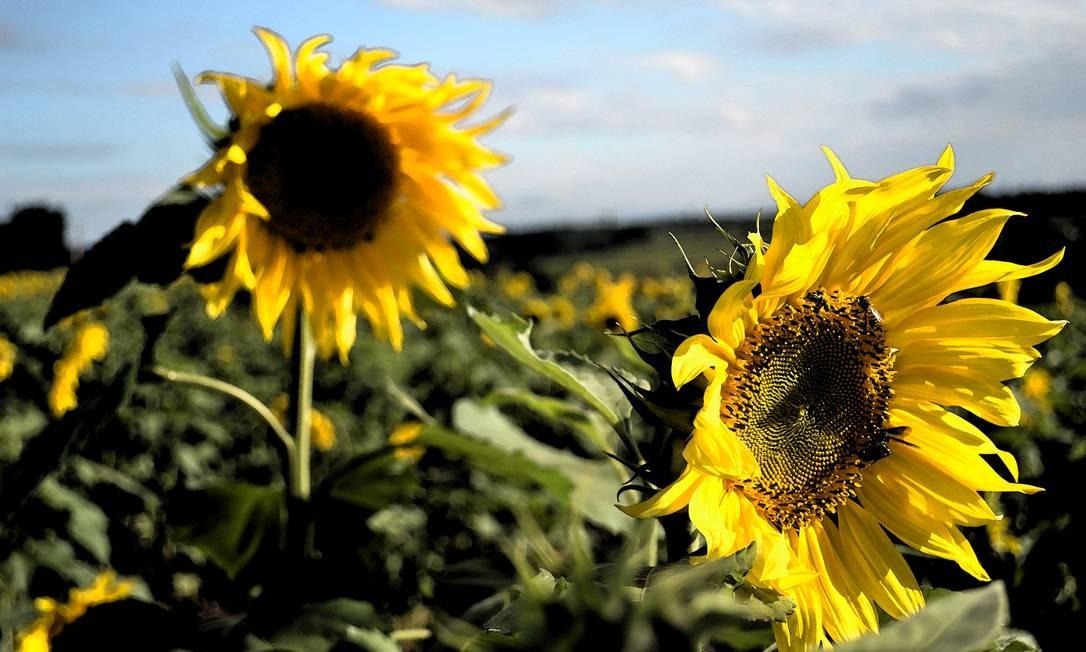 A semente de girassol produz um óleo de alta qualidade Foto: Foto do leitor Leonardo de Souza Paleari / Eu-Repórter
