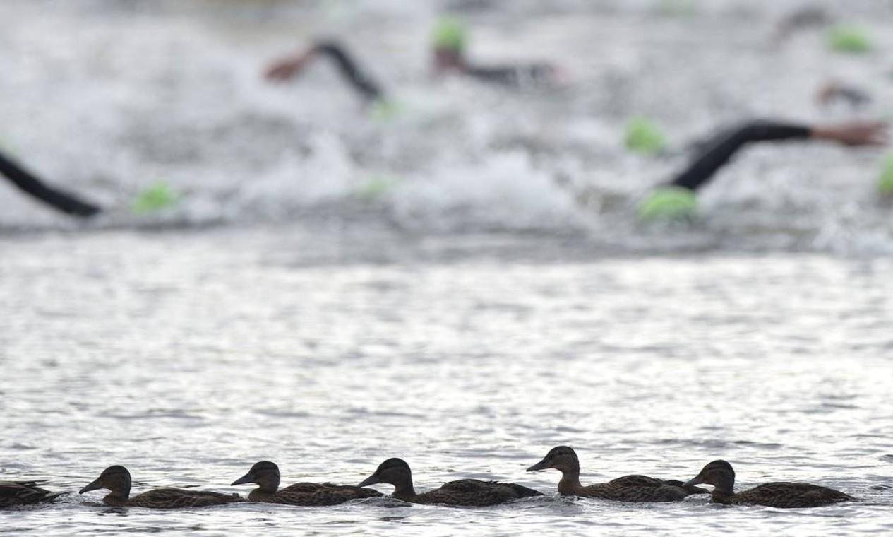 Patos acompanham a competição de triatlo nos Jogos de Londres Foto: AFP Photo