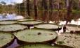 Símbolo amazônico: no Lago Janauari, de águas mais calmas que as do Solimões, proliferam as imponentes vitórias-régias