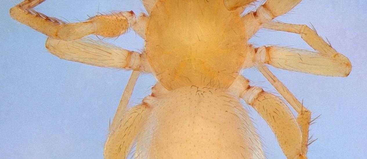 A ARANHA Predatoroonops schwarzeneggeri fêmea é uma das 17 novas espécies descobertas Foto: Divulgação/Butantan