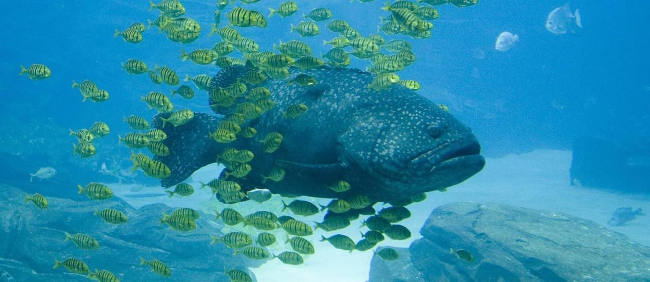 GAROUPA É cercada por cardume: preservação de espécies é fundamental para saúde dos oceanos Foto: Latinstock