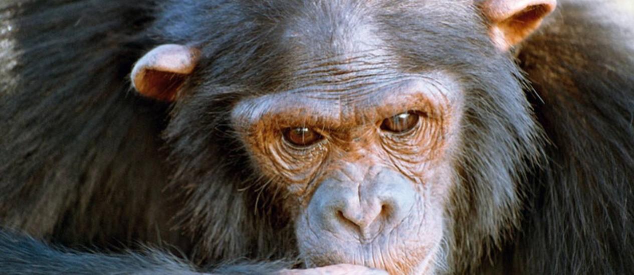 Natasha, a mais inteligente entre os 106 chimpanzés testados Foto: Divulgação