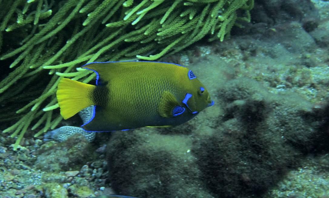 O peixe-anjo (Holacanthus ciliaris), é comum no litoral do Rio, sempre próximo a recifes Marcos de Lucena - Divulgação