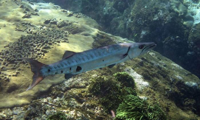 O barracuda (Sphyraenidae Sphyraena) é uma das espécies cuja carne fica tóxica ao comer peixes que se alimentam de algas afetadas pela poluição Marcos de Lucena - Divulgação