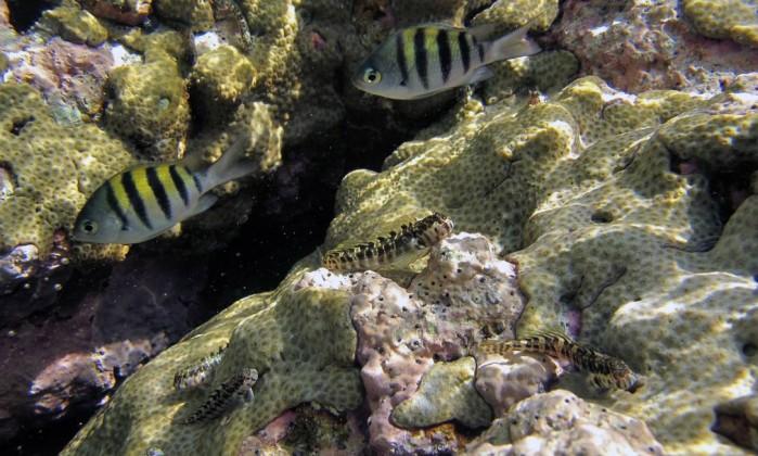A castanheta-das-rochas, ou sargentinho, (Abudefduf saxatilis), também é encontrada nas formações marinhas da costa do Rio Marcos de Lucena - Divulgação