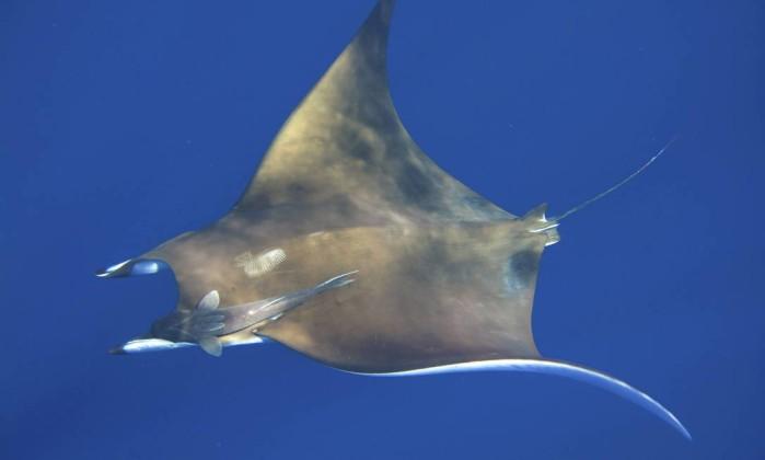 A manta birotris, conhecida como raia-jamanta, é a maior espécie de raia, chegando a ter oito metros de envergadura e mais de duas toneladas de peso Marcos de Lucena - Divulgação