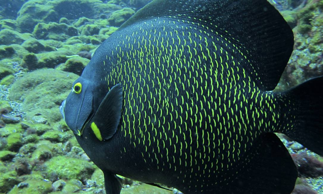 O paru, ou peixe-frade, (Pomacanthus paru), é encontrado no Atlântico entre a Flórida e o Brasil, habitando recifes rasos Foto Marcos de Lucena - Divulgação