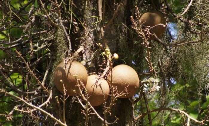 Os frutos do abricó-de-macaco (Couroupita guianensis), que é originário da Ásia, são um dos alimentos da fauna carioca Daniel Dias - Divulgação