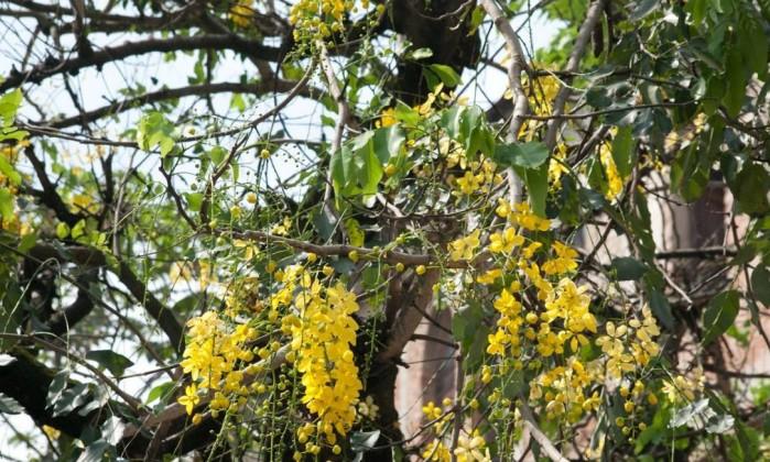 A chuva-de-ouro (Cassia fistula) é outra árvore exótica, com origem no Sudeste da Ásia. Valorizada pelo seu valor decorativo, chega a ter cinco metros de altura Daniel Dias - Divulgação