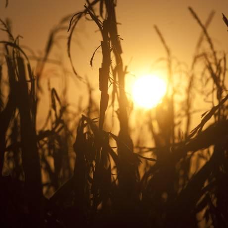 Plantação de milho afetada pelo calor em uma fazenda perto de Oakland City, Indiana; autoridades americanas registram média histórica de calor este ano Foto: SAUL LOEB / AFP