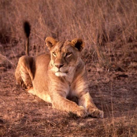 Leoa no Parque Nacional de Nairóbi Foto: Reuters/Kate Newman