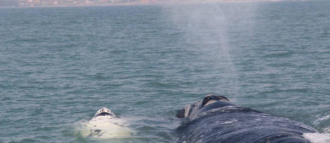 """Mas o melhor é quando vamos ver as baleias. Num passeio em Garopaba, avistamos um """"gasparzinho"""" (bebê albino) com sua mãe. Foto: Bruno Agostini / O Globo"""