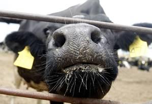 Uma vaca na Califórnia: no futuro, produção de leite que não causa alergia Foto: Alex Gallardo/Reuters