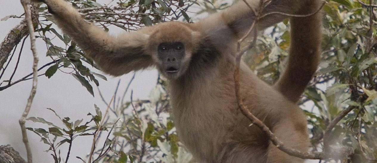 Muriqui. O primata na Serra Nacional da Serra dos Órgãos. Raro, o animal tem como seu habita a Mata Atlântica Foto: Pablo Jacob/19-07-2011 / O Globo