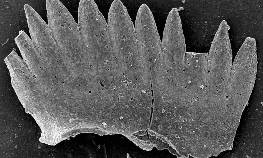 Fóssil de um animal marinho usado para medição de oxigênio e reconstrução temperatura do passado Foto: Divulgação/ Yadong Sol