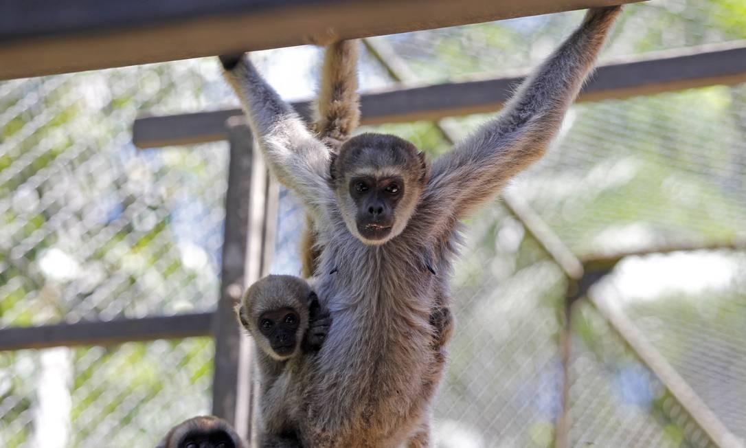 Desconhecido. Muriquis vivem em cativeiro no Centro de Primatologia em Guapimirim Foto: Custodio Coimbra