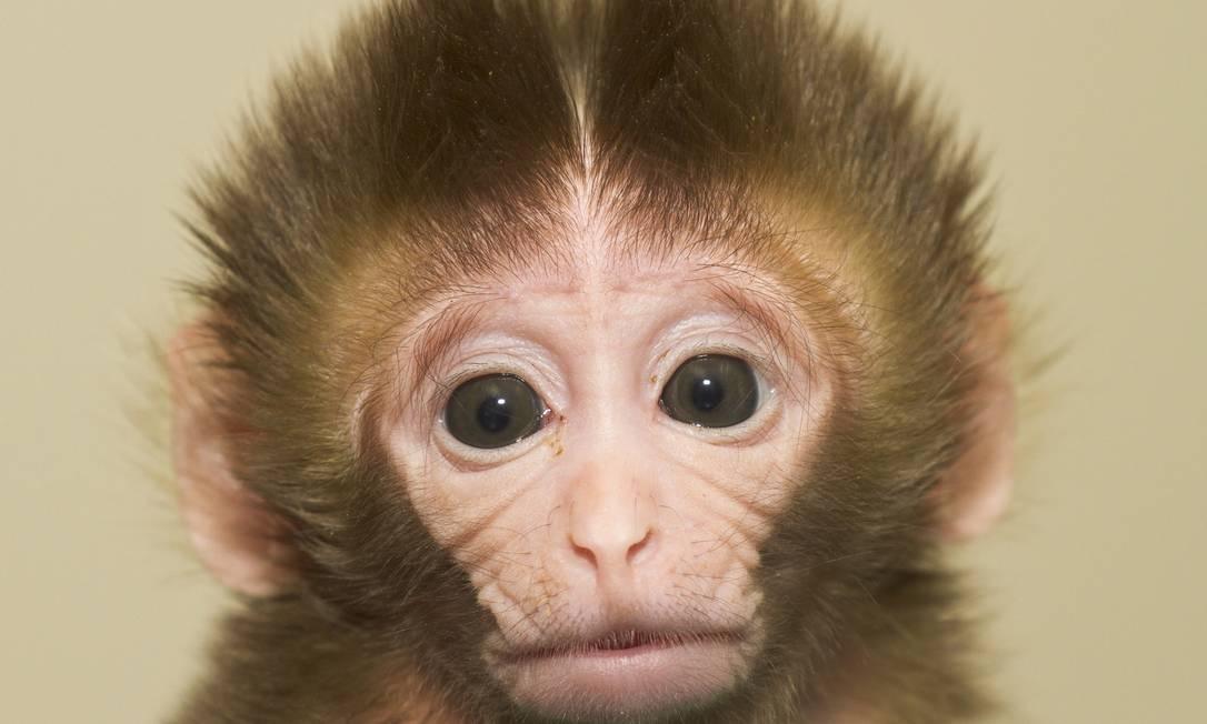 Método. A macaca Chrysta nasceu saudável em 2009 Foto: Divulgação/OHSU