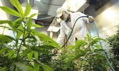 Planta cannabis sativa, mais conhecida como maconha Foto: Ted S. Warren / AP