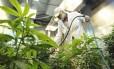 Planta cannabis sativa, mais conhecida como maconha